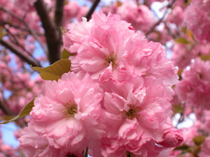 KWANSAN CHERRY TREE: POPULAR ORNIMENTAL CHERRY TREE