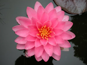 WATERLILY,