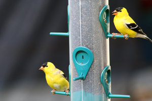 GOLD FINCH 1
