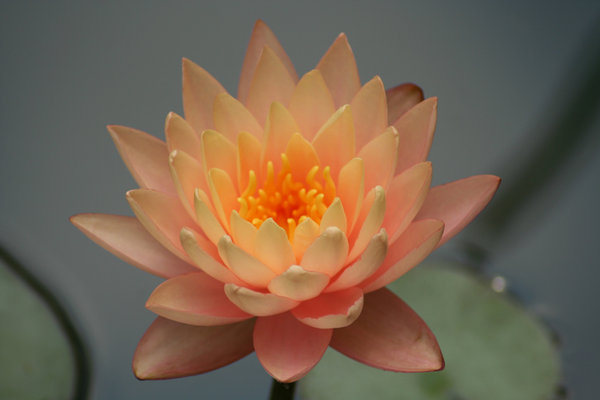 SUNSET WATERLILY: ONE OF THE
