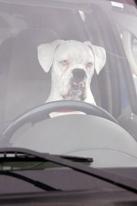 BOXER AT THE WHEEL: BOXER BEHIND THE WHEEL OF AN SUV, WAITING FOR ITS OWNER