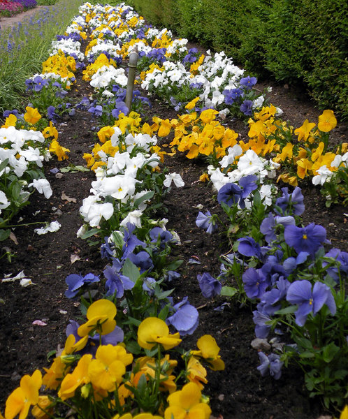 Flower bed of pansies: no description