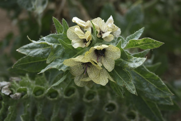 Henbane: Henbane (Hyoscyamus niger), a highly poisonous plant, growing on the coast in East Sussex, England.