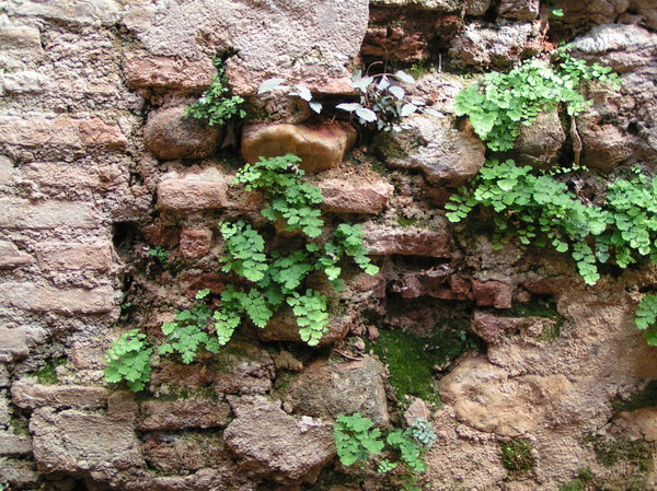 Ferns between bricks.