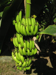 Bananas: A bunch of unripe bananas hanging from a plantain.