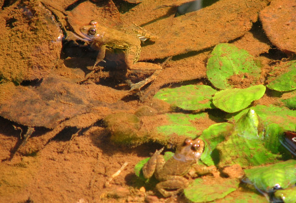Frogs in water: frogs lying in the water waiting patiently for an insect to fly by.