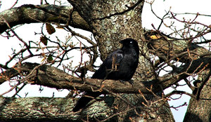 lone crow: a lone craven in large bare branched tree