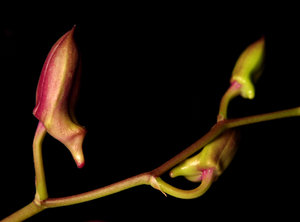 orchid bud 2: All of my non human subject photos are unrestricted so you do not need to contact me for permission. If you are planning on using a photo with people, please contact me in advance. Please mind that I will not allow them to be used for any religious purpos