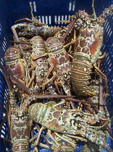 RED LOBSTERS: Red lobsters in a blue box, waiting to be cooked.