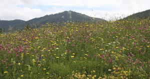 Wild flower meadow: A wild flower meadow in the Dolomites, Italy.