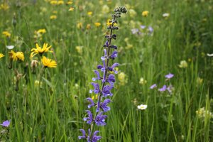 Clary: Clary (Salvia) and other wild flowers growing in a meadow in the Dolomites, Italy.