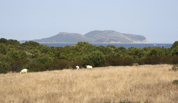 Sardinian landscape with goats