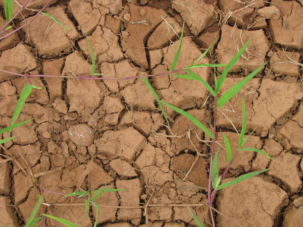 Cracked Earth: Fresh Green Grass on Dried Earth