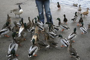 Ready for feeding: Mallard ducks (Anas platyrhynchos) waiting to be fed by a pond in a park in West Sussex, England.