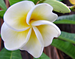 golden twirl: white and yellow - golden - frangipani flower opening and showing soft colours