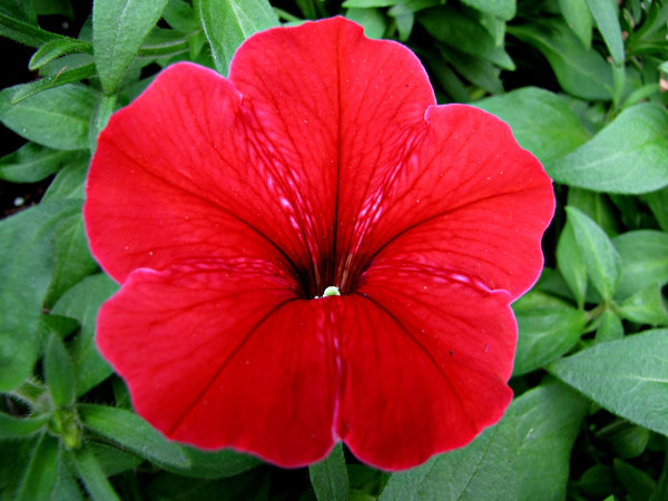 streaky throat: bright red funnel shaped petunia with streaks into its centre