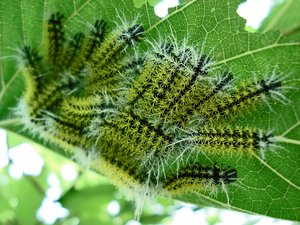 Caterpillar: Group of caterpillars