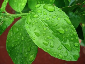 Wet Lemon Leaves: Lemon leaves after rain