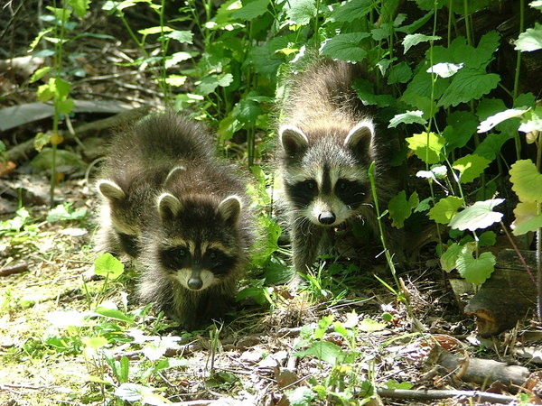 Baby Racoons 4