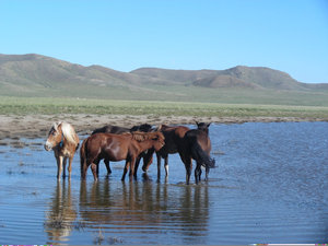 wild horses: photo taken in Mongolia