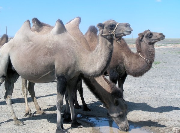 thirsty camels