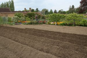 Garden furrows: Ridges and furrows for potatoes in a kitchen garden in Somerset, England.