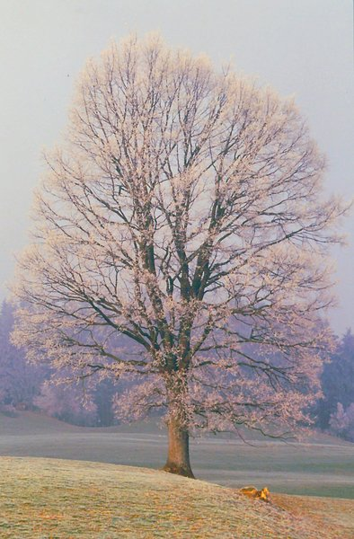 Frosty Morning / Lonely Tree