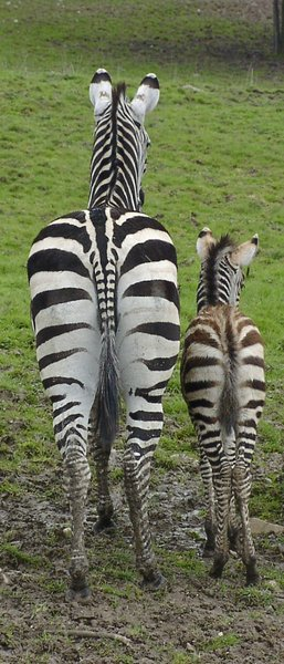 Striped couple ( mom & son zeb