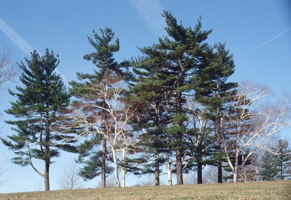 Group of Trees in Gettysburg