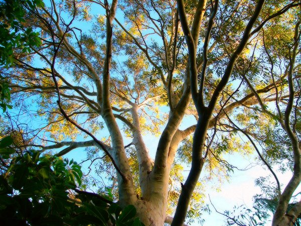 Sun on Gum Tree