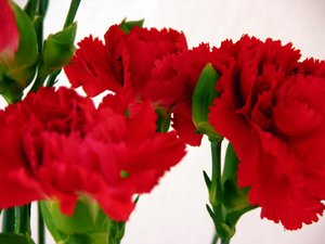 carnation 1: in the `80...-men usually gave this flowers 8 march - woman`s day-1 may people walking with this flower in the city - work`s day