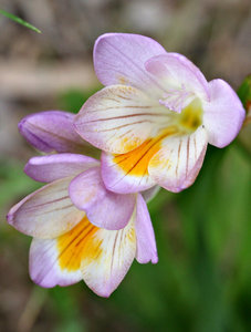 fragrant freesia: colourful and very strongly scented freesia - both a garden plant and a competing bushland weed (in Australia)