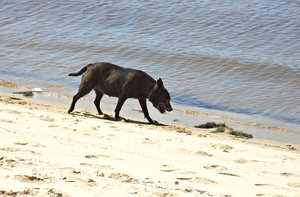 old beach dog: old dog wandering along the water's edge on the beach