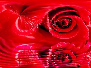 rose: a rose falled in water