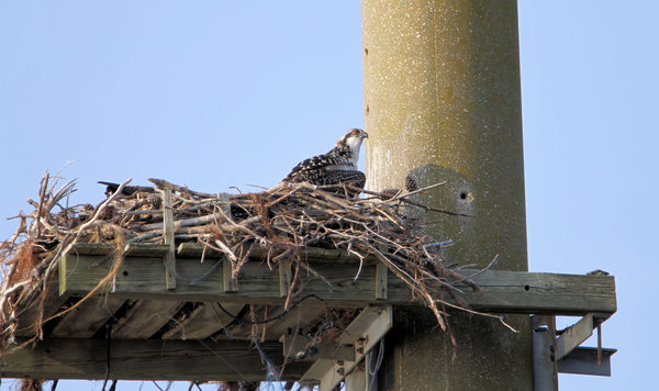 Juvenile Osprey: Young osprey waiting for food in its nest.