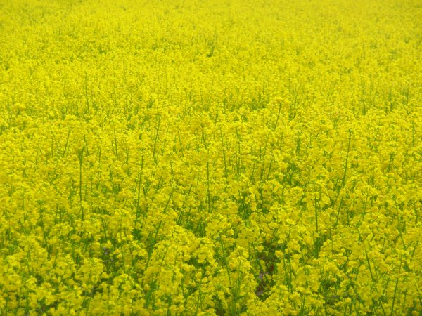 Rape 2: Bloomy yellow rape