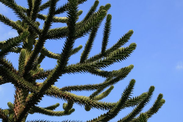 Monkey-puzzle tree: Branches of a monkey-puzzle (Araucaria araucana) tree.