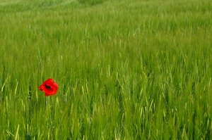Single Poppy in een veld