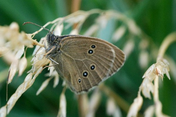 Butterfly from the Satyridae