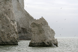 Chalk cliffs: Seagulls and cormorants on chalk cliffs in East Sussex, England.
