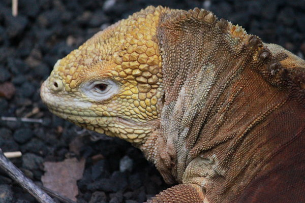 Land Iguana: Like a remniscent from a far away time