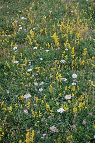 Chalk downland flora