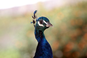 Peafowl portrait 3