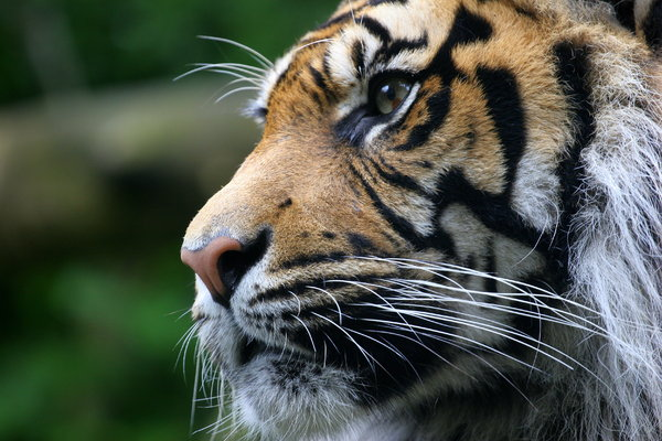 Sumatran Tiger: Portrait of Sumatran Tiger in Edinburgh Zoo