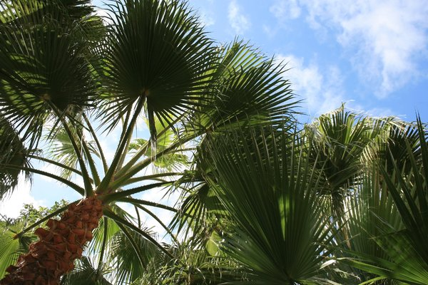 Fan palms: Fan palms growing in a garden in Madeira.