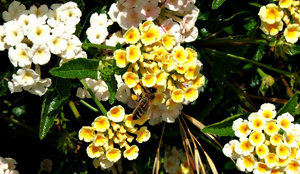 busy bee: bee busy flitting to and from the blooms of the colourful Lantana garden shrub also regarded as a noxious weed of significance in many states of Australia