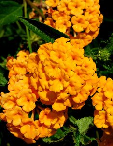 golden clusters: lowers of the colourful Lantana garden shrub also regarded as a noxious weed of significance in many states of Australia