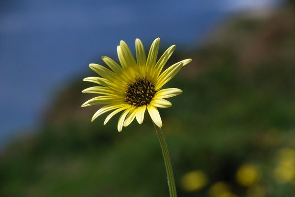 White and yellow daisy 1