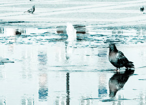 pigeon: pigeon reflecting in water