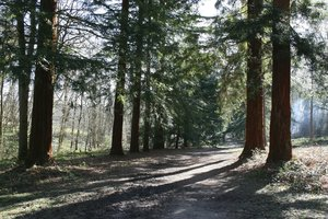 Redwood path: A path through an avenue of redwood trees in West Sussex, England on a sunny day in early winter.